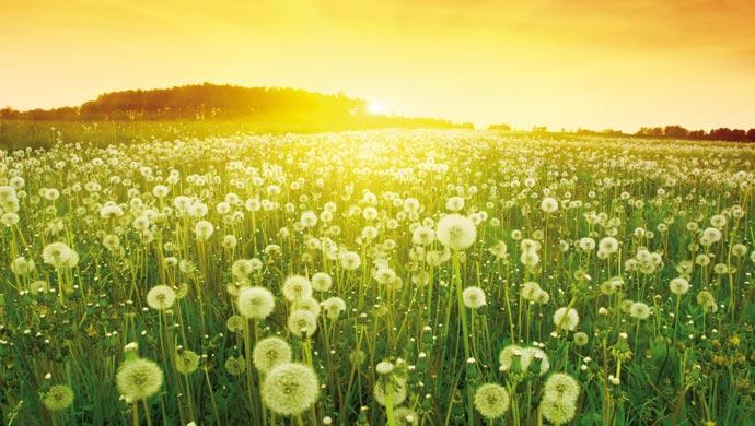 Dandelion crops