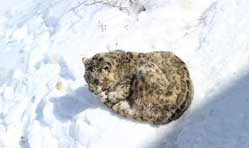 SNOW LEOPARD TRAIL- A Journey By Road